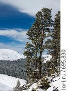 Купить «Реликтовые ели. Зимний пейзаж», фото № 695830, снято 1 февраля 2009 г. (c) Tatiana / Фотобанк Лори