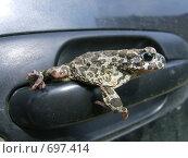 Лягушка-путешественница. Стоковое фото, фотограф Ксения Блинкова / Фотобанк Лори