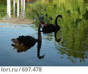 Два черных лебедя на воде (2007 год). Стоковое фото, фотограф Соколова Анастасия / Фотобанк Лори