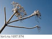 Борщевик в снегу. Стоковое фото, фотограф Синюков Пётр Львович / Фотобанк Лори