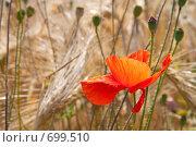 Купить «Красный мак на поле», фото № 699510, снято 1 июля 2008 г. (c) Архипова Мария / Фотобанк Лори
