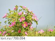 Купить «Шиповник майский, роза коричная, Rosa majalis», фото № 700094, снято 9 июня 2008 г. (c) Михаил Ушаков / Фотобанк Лори