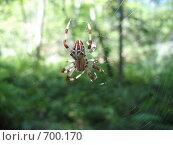 Паук в паутине. Стоковое фото, фотограф Елена Скопинцева / Фотобанк Лори
