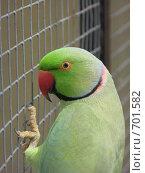 Александрийский кольчатый попугай. Стоковое фото, фотограф Верещагина Дарья / Фотобанк Лори