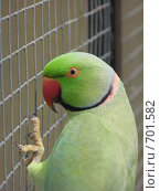 Купить «Александрийский кольчатый попугай», фото № 701582, снято 12 июня 2008 г. (c) Верещагина Дарья / Фотобанк Лори