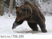 Купить «Выпад бурого медведя», фото № 706290, снято 14 февраля 2009 г. (c) Алексей Крылов / Фотобанк Лори