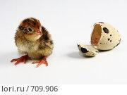 Птенец японского перепела. Стоковое фото, фотограф Дмитрий Натарин / Фотобанк Лори