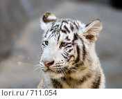 Купить «Тигр Бенгальский (белая вариация), Panthera tigris tigris (var. Alba), Bengal tiger», фото № 711054, снято 24 сентября 2008 г. (c) Василий Вишневский / Фотобанк Лори