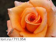 Купить «Роза», фото № 711954, снято 20 июля 2008 г. (c) Елена Азарнова / Фотобанк Лори