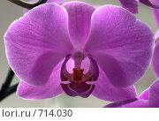Купить «Цветущая орхидея», фото № 714030, снято 11 февраля 2009 г. (c) Наталья Обуховская / Фотобанк Лори
