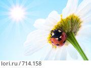 Купить «Божья коровка на цветке», фото № 714158, снято 9 июля 2007 г. (c) Анатолий Типляшин / Фотобанк Лори
