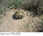 Черепаха. Стоковое фото, фотограф Екатерина Петрова / Фотобанк Лори