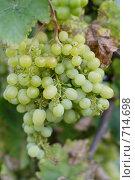 Купить «Гроздь зеленого винограда», фото № 714698, снято 18 августа 2008 г. (c) Сергей Лысенков / Фотобанк Лори