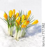 Купить «Первые цветы - крокусы на фоне снега», фото № 717582, снято 20 февраля 2009 г. (c) Анна Игонина / Фотобанк Лори