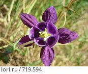 Купить «Фиолетовый цветок водосбора», фото № 719594, снято 29 июня 2007 г. (c) Галина Гуреева / Фотобанк Лори