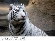 Купить «Белый тигр», фото № 721870, снято 22 февраля 2009 г. (c) Тимофей Косачев / Фотобанк Лори