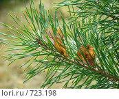 Лист на елке. Стоковое фото, фотограф Юлия Анатольевна / Фотобанк Лори