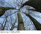 Купить «Стволы деревьев на фоне голубого неба», эксклюзивное фото № 725214, снято 25 февраля 2009 г. (c) lana1501 / Фотобанк Лори