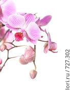 Купить «Розовая орхидея, изолировано на белом фоне, фокус на цветке», фото № 727302, снято 27 февраля 2009 г. (c) Tamara Kulikova / Фотобанк Лори
