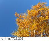 Купить «Осенние березы», фото № 728202, снято 4 октября 2008 г. (c) Галина Хорошман / Фотобанк Лори