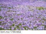 Купить «Фон из цветущих крокусов», фото № 730602, снято 2 марта 2009 г. (c) Tamara Kulikova / Фотобанк Лори