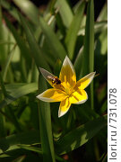 Пчела на желтом цветке. Стоковое фото, фотограф Ольга Харламова / Фотобанк Лори