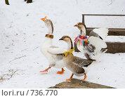 Купить «Домашние гуси», фото № 736770, снято 28 февраля 2009 г. (c) Михаил Котов / Фотобанк Лори