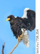 Купить «Белоплечий орлан», фото № 738354, снято 22 февраля 2009 г. (c) Тимофей Косачев / Фотобанк Лори