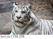 Купить «Белый тигр», фото № 738378, снято 22 февраля 2009 г. (c) Тимофей Косачев / Фотобанк Лори