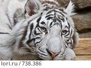 Купить «Белый тигр», фото № 738386, снято 22 февраля 2009 г. (c) Тимофей Косачев / Фотобанк Лори
