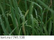 Роса на траве. Стоковое фото, фотограф EVA / Фотобанк Лори