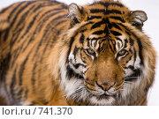 Купить «Суматранский тигр (лат. Panthera tigris sumatrae)», фото № 741370, снято 9 марта 2009 г. (c) Игорь Киселёв / Фотобанк Лори