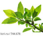 Купить «Веточка с зелеными листьями на белом фоне», фото № 744678, снято 27 апреля 2007 г. (c) Лилия / Фотобанк Лори
