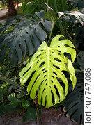 Купить «Листья растения, контрастной расцветки», фото № 747086, снято 11 февраля 2009 г. (c) Камбулина Татьяна / Фотобанк Лори