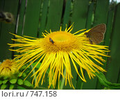 Бабочка и букашка на оранжевом цветке. Стоковое фото, фотограф Галина Гуреева / Фотобанк Лори