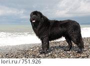 Купить «Собака породы ньюфаундленд на берегу моря», фото № 751926, снято 15 марта 2009 г. (c) Наталья Обуховская / Фотобанк Лори