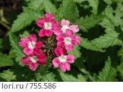 Купить «Яркие красные цветы на фоне зелени», фото № 755586, снято 22 июля 2008 г. (c) Иван Авдеев / Фотобанк Лори