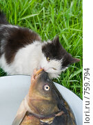 Кошка ест рыбу. Стоковое фото, фотограф Федор Королевский / Фотобанк Лори