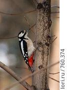 Дятел большой пестрый, Dendrocopos major, Great-spotted woodpecker. Стоковое фото, фотограф Василий Вишневский / Фотобанк Лори