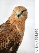Купить «Портрет хищной птицы», эксклюзивное фото № 764970, снято 19 марта 2009 г. (c) Яна Королёва / Фотобанк Лори