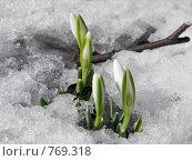 Купить «Подснежники», фото № 769318, снято 21 марта 2009 г. (c) Людмила Жмурина / Фотобанк Лори