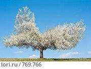 Купить «Цветущее дерево груши на фоне неба», фото № 769766, снято 20 марта 2009 г. (c) Ирина Кожемякина / Фотобанк Лори