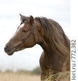 Купить «Портрет лошади русской тяжеловозной породы в поле», фото № 772382, снято 13 сентября 2008 г. (c) Алексия Хрущева / Фотобанк Лори