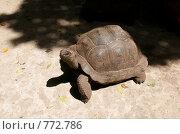 Купить «Гигантская черепаха (Aldabra Giant Tortoise, Geochelone gigantea) в питомник на Занзибаре», фото № 772786, снято 11 января 2009 г. (c) Алексей Зарубин / Фотобанк Лори