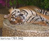 Спящий тигр. Стоковое фото, фотограф Колчева Ольга / Фотобанк Лори