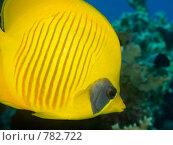 Купить «Полосатая рыба-бабочка (Chaetodon semilarvatus). Крупный план. Подводная съемка», фото № 782722, снято 20 ноября 2008 г. (c) Мельников Дмитрий / Фотобанк Лори