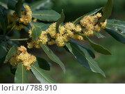Купить «Желтые цветы лавра благородного», фото № 788910, снято 3 апреля 2009 г. (c) Demyanyuk Kateryna / Фотобанк Лори