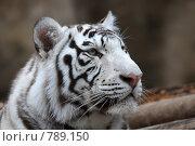 Купить «Портрет белого тигра», фото № 789150, снято 31 марта 2009 г. (c) Яна Королёва / Фотобанк Лори