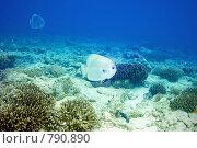 Купить «Подводный тропический пейзаж с рыбами платакс», фото № 790890, снято 19 марта 2008 г. (c) Татьяна Белова / Фотобанк Лори
