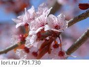 Купить «Вишневый цвет», фото № 791730, снято 10 марта 2009 г. (c) Брыков Дмитрий / Фотобанк Лори